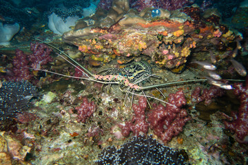 Thailand: Lobster hiding in a rock crevice