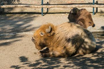 Bison (Buffalo) in captivity