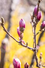Beautiful pink magnolia bud on a bokeh background
