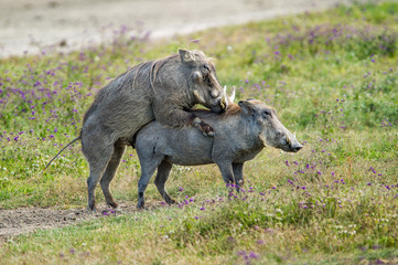 warthogs procreating tanzania africa