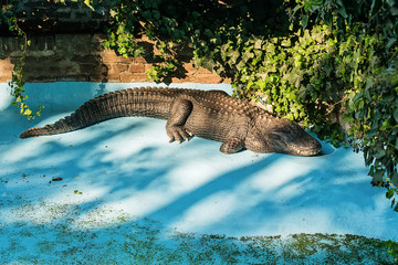 Crocodile in the pool