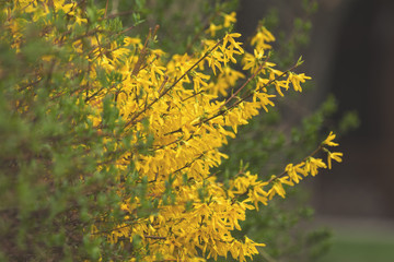 Yellow forsythia blossom in the city park on spring sunny day.
