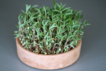 mung bean microgreen in the pot