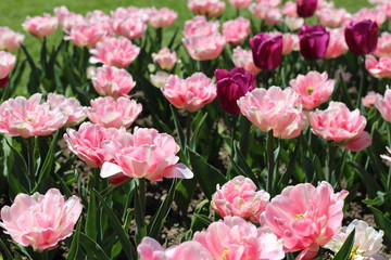 Tulipes doubles roses, tulipes roses