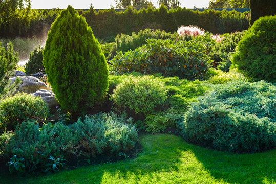 Ornamental bushes of evergreen thuja in a landscape park