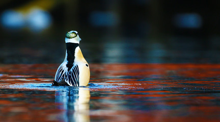Steller's eider in courtship dance