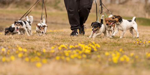 Owner walks together with many dogs in spring - a pack of Jack Russell Terriers surrounded by yellow flowers