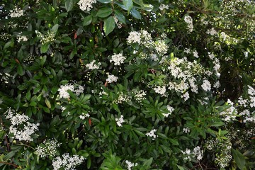 Blossoms of firethorn (Pyracantha)