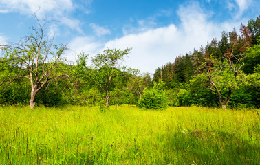 abandoned apple orchard. lovely springtime scenery among forested mountains