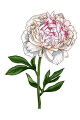 Hand-drawn illustration of gentle peony flower isolated on white background. A large bud on a stem with green leaves. Botanical floral elements for your design.