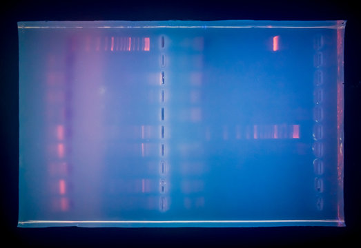 Close-up of a gel with DNA after electrophoresis. Results of electrophoresis after PCR.