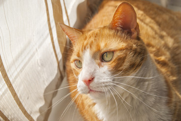 A  Red Cat Lying at Windowsill looking at you in Sunny Day.