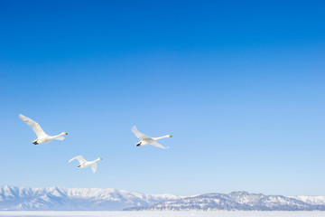 青空を飛ぶ白鳥の群れ