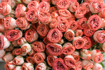 Roses of multicolor, pastel pink and powdery color. Lots of buds. Floral natural backdrop. Flower shop concept
