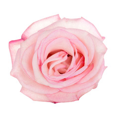 Pink blooming rose isolated on white background