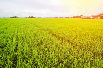 Rice Field Landscape, Paddy Field Landscape