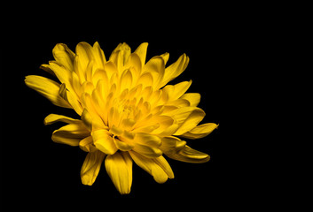 Yellow Chrysanthemum isolated on black background. Beautiful floral  wallpaper