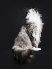 Handsome adult senior Maine Coon cat sitting side ways isolated on black background with tail hanging down over edge and looking up