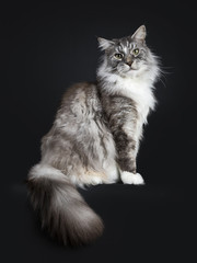 Handsome adult senior Maine Coon cat sitting side ways isolated on black background with tail hanging down over edge and straight in lens