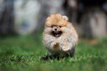 happy pomeranian spitz puppy running on grass