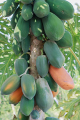 Close up Papaya on the tree