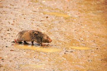 Cape mole-rat, South Africa