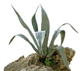 Agava isolated on white background