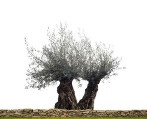 Freigesteller Olivenbaum als Paar hinter einer Gartenmauer aus Naturstein - Olive tree in front of  white background as a pair behind a garden wall made of natural stone
