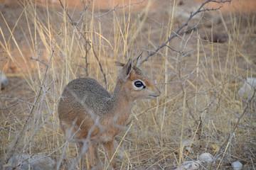 Dik dik in Namibia