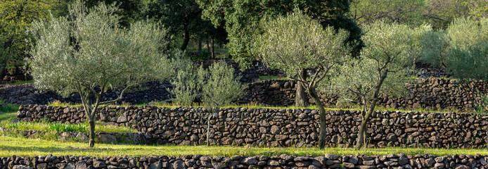 Papiers peints Oliviers vue panoramique sur des oliviers cultivés en terrasse, avec des murets