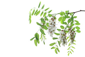 Blossoming acacia with leafs isolated on white background, black locust, flowers,  Robinia pseudoacacia