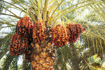 Dates on a palm tree.