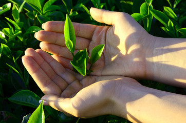 Tea leaves with plantation of Sri Lanka in the hands of man