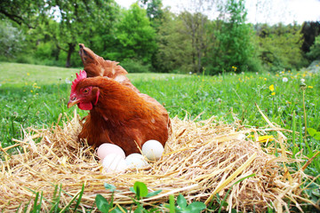 A Hen sitting down on her eggs outside