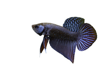 Mahachai betta or Betta mahachaiensis, beautiful Siamese Fighting Fish isolated with white background and clipping path, Thailand.