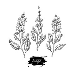 Sage vector drawing set. Isolated plant with flower and leaves.