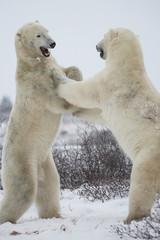 Polar Bears Fighting (Standing)