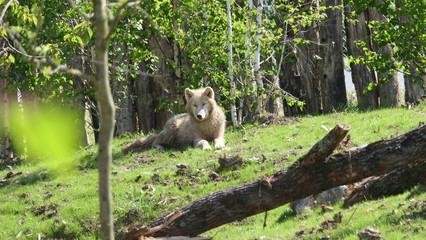 loups blanc