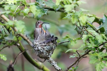 Annas Hummingbird Feeds Chick
