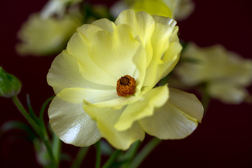 Yellow anemone flower