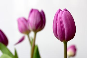 Lilac tulip flowers
