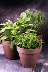 Homegrown and aromatic herbs in old clay pots. Set of culinary herbs. Green growing sage, oregano and rosemary