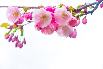 Spring time, branch of Cherry blossom