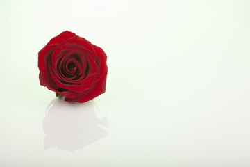 march 8, rose, flower, red, love, isolated,