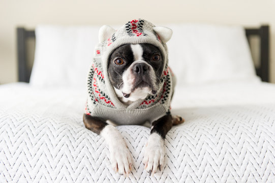 Black and white Boston Terrier dog laying on bed posing in sweater
