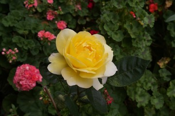 Roses - Santa Rosa, California is the largest city in California's Redwood Empire, Wine Country and the North Bay.
