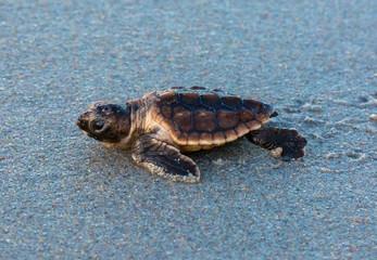 Baby Loggerhead Sea Turtle On Beach