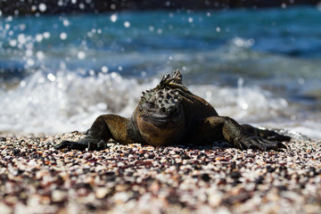 Galapagos Marine Iguana (Amblyrhynchus cristatus) on sunning itself on a beach, Galapagos Islands