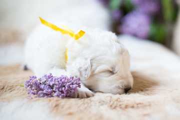 Close up portrait of white fluffy pup. Portrait of one week old maremma puppy sleeping with lilac flower on the cowhide.