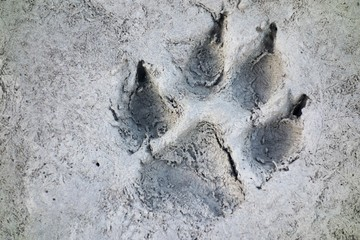 Wolf Track Wilderness Prints in the Mud of Howse River Flats Banff National Park Canadian Rocky Mountains